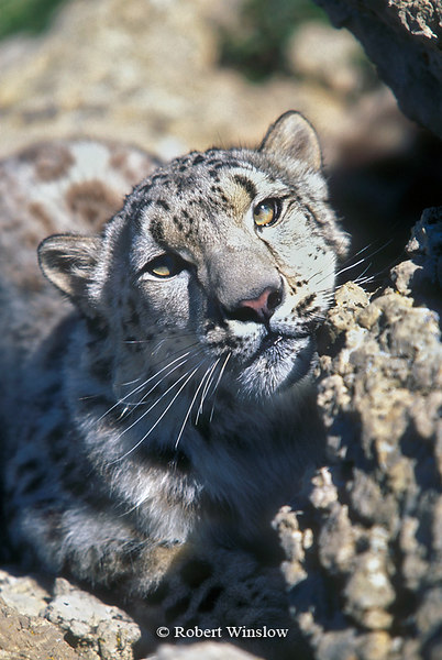 Snow Leopard (Panthera uncia), Controlled Conditions
