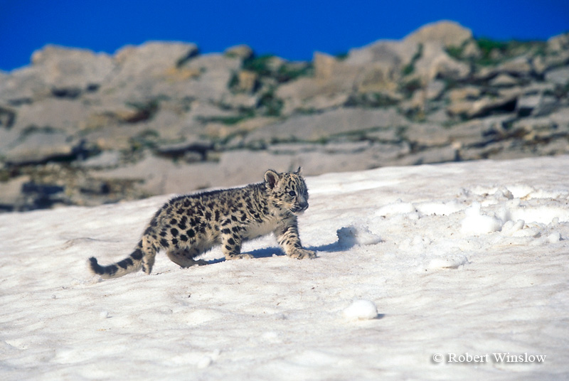 Baby Snow Leopard On Field Panthera Uncia Controlled Conditions