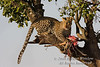 Leopard, Panthera pardus, In a Tree with a Kill, Masai Mara National Reserve, Kenya, Africa, Carnivora Order, Felidae Family