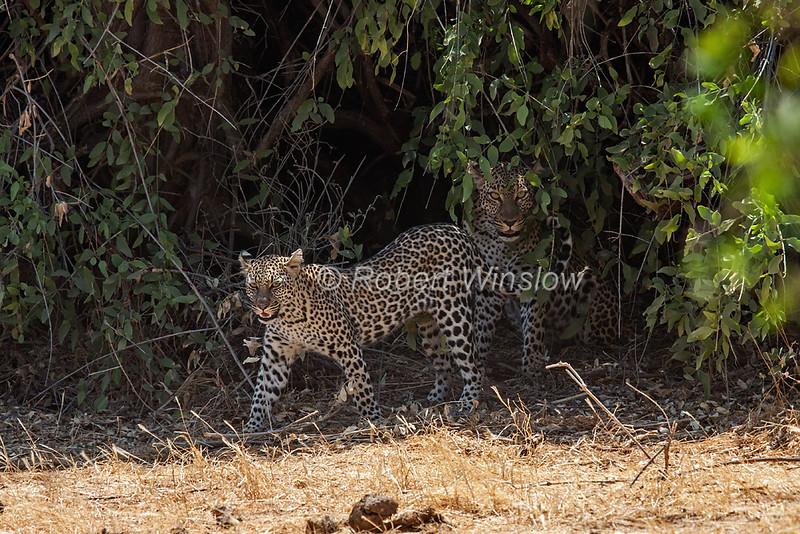 Mother and Juvenile Leopard, Panthera pardus, Samburu National Reserve, Kenya, Africa, near threatened