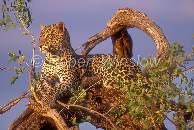 Leopard (Panthera pardus), Resting in a Tree at Sunset, Samburu National Reserve, Kenya