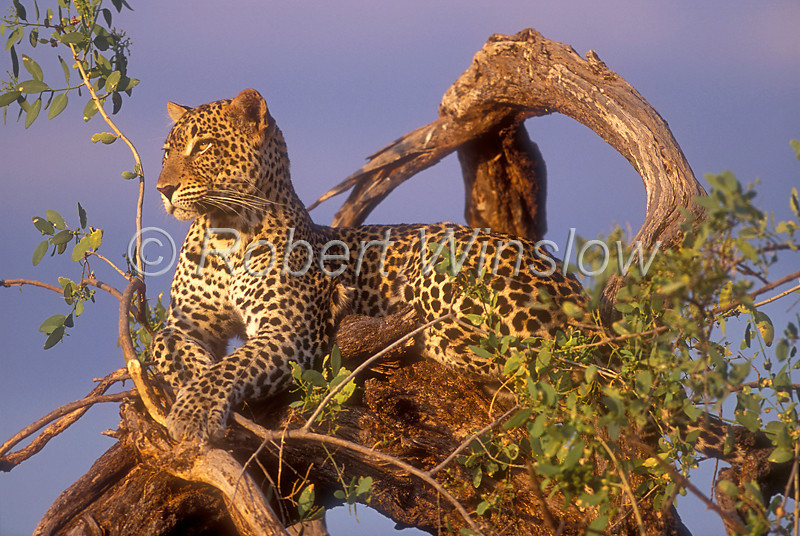 Leopard (Panthera pardus), Resting in a Tree at Sunset, Samburu National Reserve, Kenya