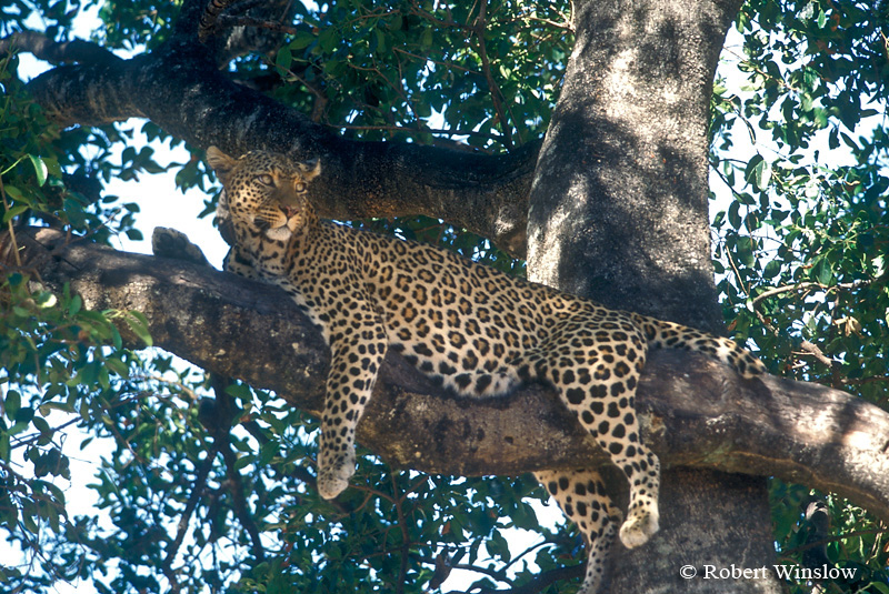 Half Tail, Leopard (Panthera pardus) in a Tree, Masai Mara National Reserve, Kenya