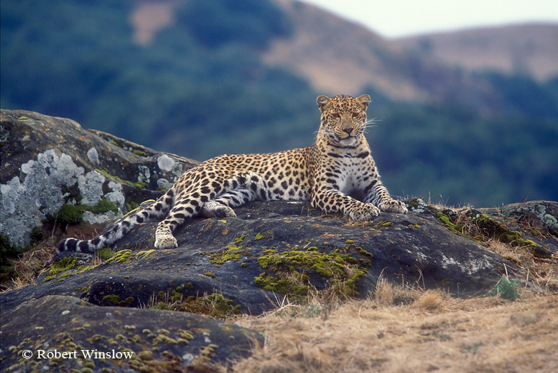 Leopard (Panthera pardus), During light Rain, Controlled Conditions