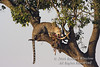 Leopard, Panthera pardus, With a kill in a tree, Masai Mara National Reserve, Kenya, Africa