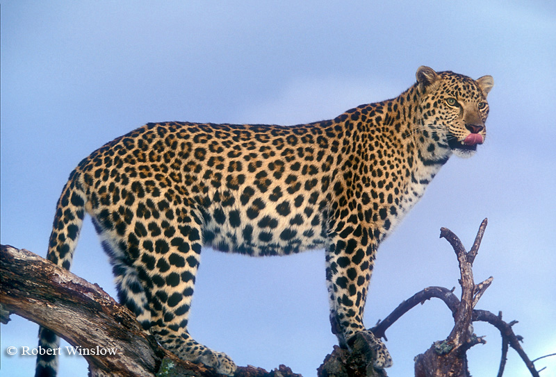 Leopard (Panthera pardus), Controlled Conditions