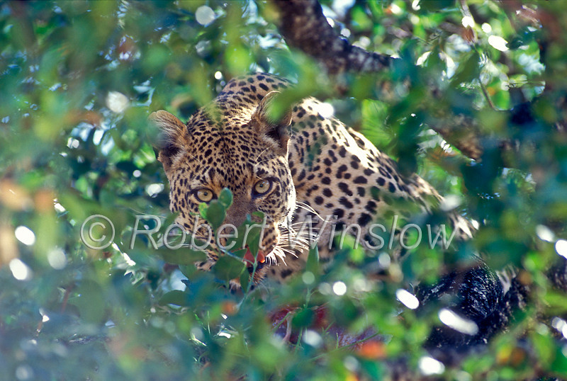 Leopard (Panthera pardus) in a Tree with a Kill,  Masai Mara National Reserve, Kenya