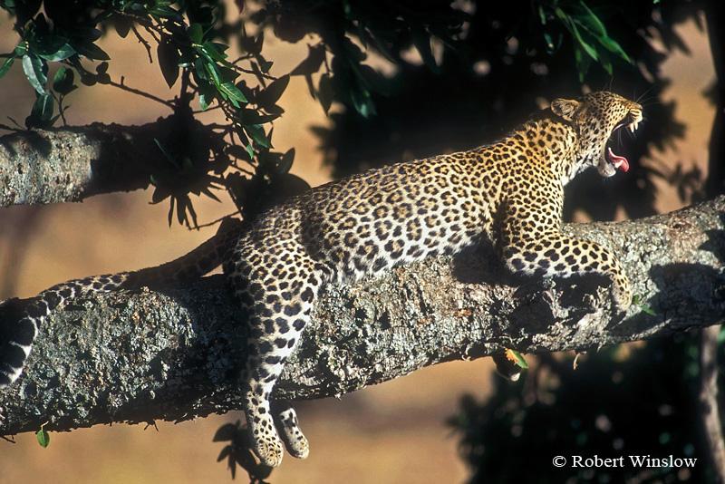 Leopard (Panthera pardus)Yawning, in a Tree,  Masai Mara National Reserve, Kenya