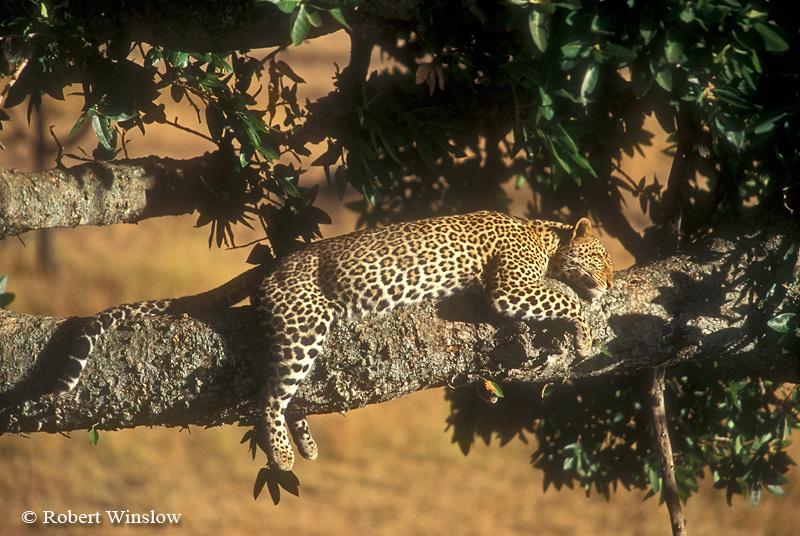 Leopard (Panthera pardus) in a Tree, Masai Mara National Reserve, Kenya