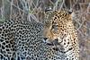 Leopard (Panthera pardus), Samburu National Reserve, Kenya, Africa