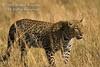 Leopard, Panthera pardus, Masai Mara National Reserve, Kenya, Africa, Carnivora Order, Felidae Family