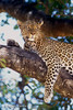 Leopard (Panthera pardus) in a Tree, Masai Mara National Reserve, Kenya