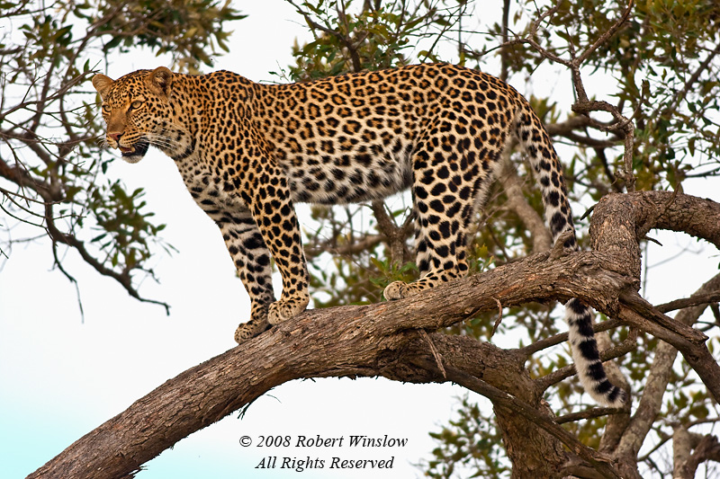 Leopard, Panthera pardus, In a Tree, Masai Mara National Reserve, Kenya, Africa, Carnivora Order, Felidae Family