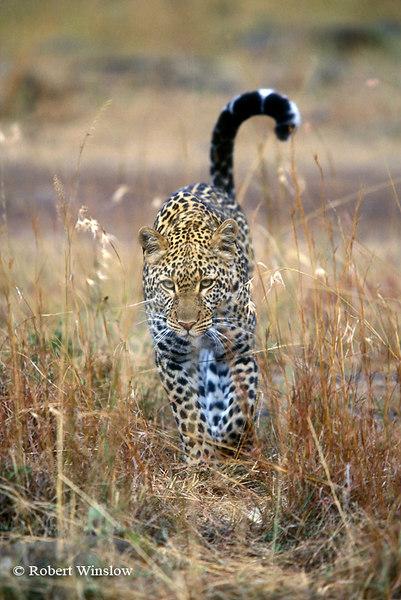 Leopard (Panthera pardus), Masai Mara National Reserve, Kenya