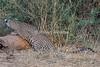 Leopard, Panthera pardus, Samburu National Reserve, Kenya, Africa