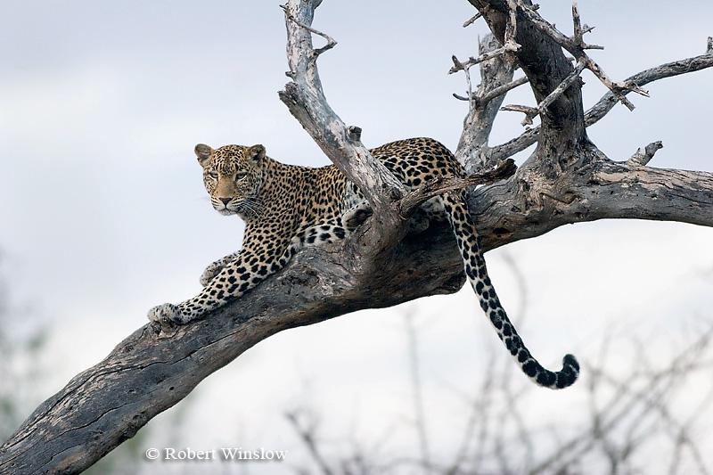 Leopard (Panthera pardus), Samburu National Reserve, Kenya