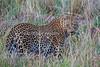Old Male Leopard, Panthera pardus, Masai Mara National Reserve, Kenya, Africa, Carnivora Order, Felidae Family