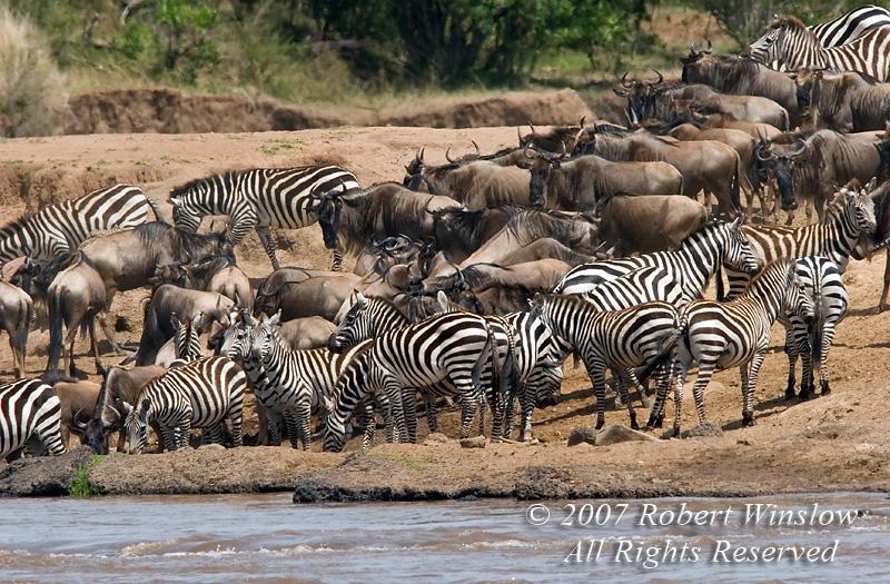Wildebeests and Plains Zebras, Equus quagga, formerly Equus burchelli, on the banks of the Mara River, Masai Mara National Reserve, Kenya, Africa, Perissodactyla Order, Equidae Family