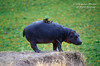 Hippopotamus, Hippopotamus amphibius, Masai Mara National Reserve, Kenya, Africa