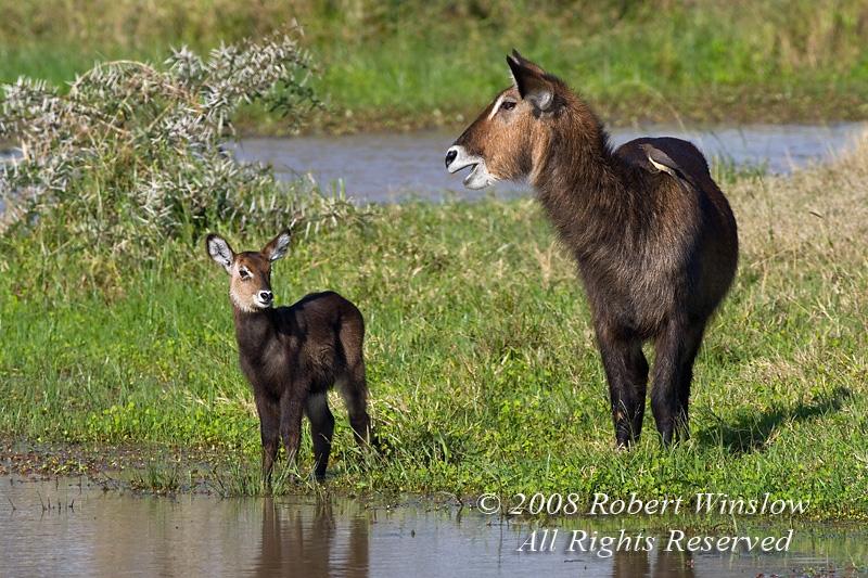 Defassa Waterbuck, Kobud ellipsiprymnus defassa, Mother with Baby, Ol Pejeta Conservancy, Kenya, Africa