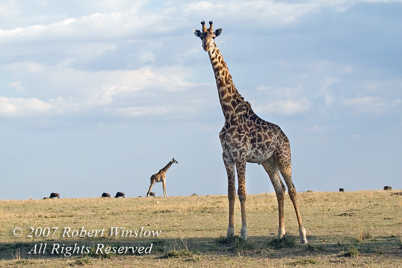 Two Masai Giraffe (Giraffe camelopardalis tippelskirchi), Masai Mara National Reserve, Kenya, Africa