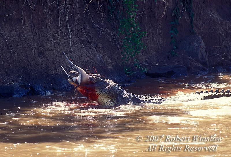 Nile Crocodile catching and eating Thomson's Gazelle as it tried to cross the Mara River, Masai Mara, Kenya, Africa