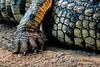 Detail, Nile Crocodile, Crocodylus niloticus, Samburu National Reserve, Kenya, Africa