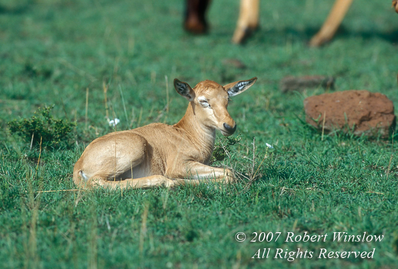 Newborn Topi, Damaliscus lunatus, Masai Mara National Reserve, Kenya, Africa