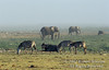 Morning Mist, Elephants, Cape Buffalo, Wildebeest, Zebras, Amboseli National Park, Kenya, Africa