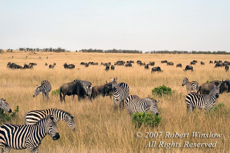 Plains Zebras and Wildebeests grazing on the Savannah, Masai Mara National Reserve, Kenya, Africa