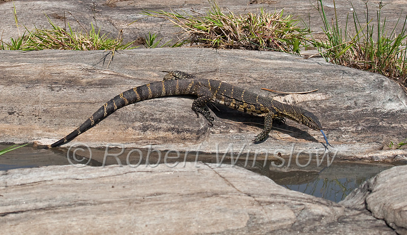 Nile Monitor Lizard, Varanus niloticus, Masai Mara National Reserve, Kenya, Africa