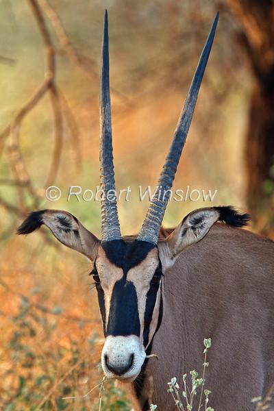 Oryx, Fringe-eared oryx, Oryx beisa callotis, Tsavo West National Park, Kenya, Africa,  subspecies of East African oryx