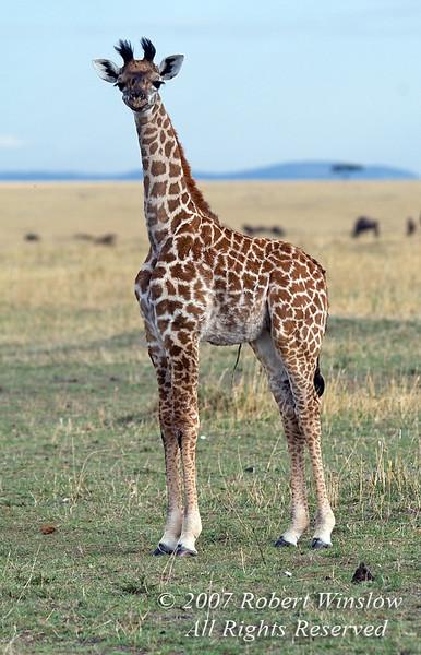 Baby Masai Giraffe (Giraffe camelopardalis tippelskirchi), Masai Mara National Reserve, Kenya, Africa