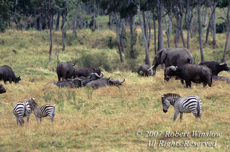 Plains Zebras, Elephants and Cape Buffalo grazing, Masai Mara National Reserve, Kenya, Africa