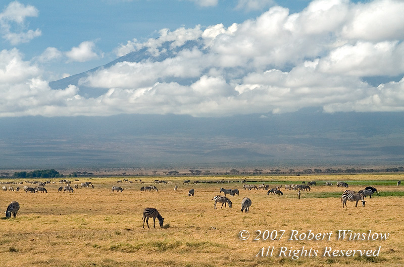 Plains Zebras and other animals grazing in the distance, Mount Kilimanjaro in Background, Amboseli National Park, Kenya, Africa