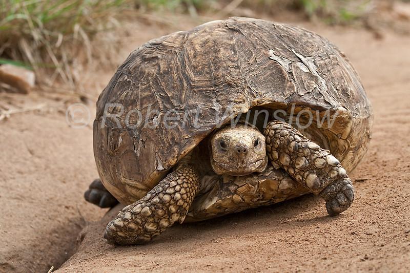 Leopard Tortoise, Geochelone pardalis, Masai Mara National Reserve, Kenya, Africa