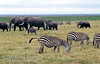 Plains Zebras, Elephants and Wildebeest grazing on the Savannah, Masai Mara National Reserve, Kenya, Africa