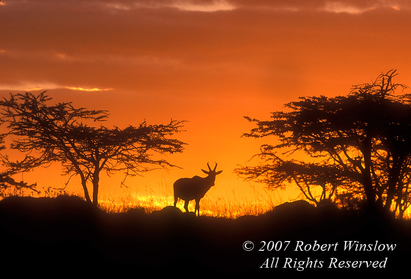 Topi, Damaliscus lunatus, Masai Mara National Reserve, Kenya, Africa
