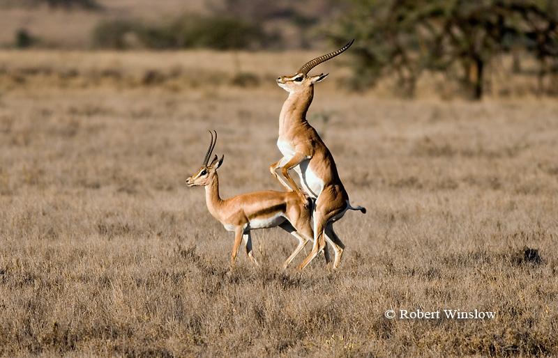 Grant's Gazelle, Gazella granti, Mating, Lewa Wildlife Conservancy, Kenya, Africa
