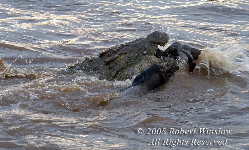 Nile Crocodile attacking a Wildebeest, Mara River, Masai Mara National Reserve, Kenya, Africa