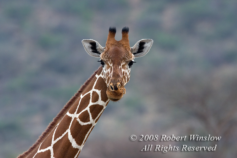 Reticulated Giraffe (Giraffe camelopardalis reticulata) Samburu National Reserve, Kenya, Africa