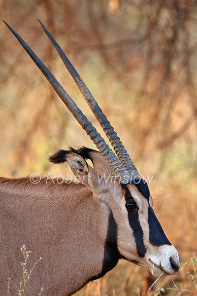 Oryx, Fringe-eared oryx, Oryx beisa callotis, Tsavo West National Park, Kenya, Africa,  subspecies of East African oryx
