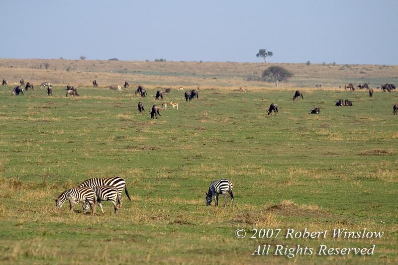 Plains Zebras, Thomson's Gazelles and Wildebeests grazing on the Savannah, Masai Mara National Reserve, Kenya, Africa
