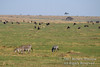Plains Zebras, Thomson's Gazelles and Wildebeests grazing on the Savannah, Masai Mara National Reserve, Kenya, Africa