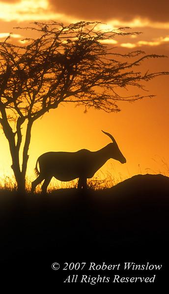 Topi at Sunset, Damaliscus lunatus, Masai Mara National Reserve, Kenya, Africa