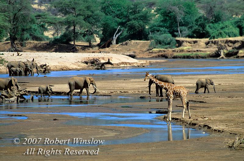 African Elephants and Reticulated Giraffe, Ewaso Nyiro River, Samburu<br /> National Reserve, Kenya, Africa