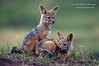 Black-backed Jackal Pups, Canis mesomelas, Masai Mara National Reserve, Kenya, Africa