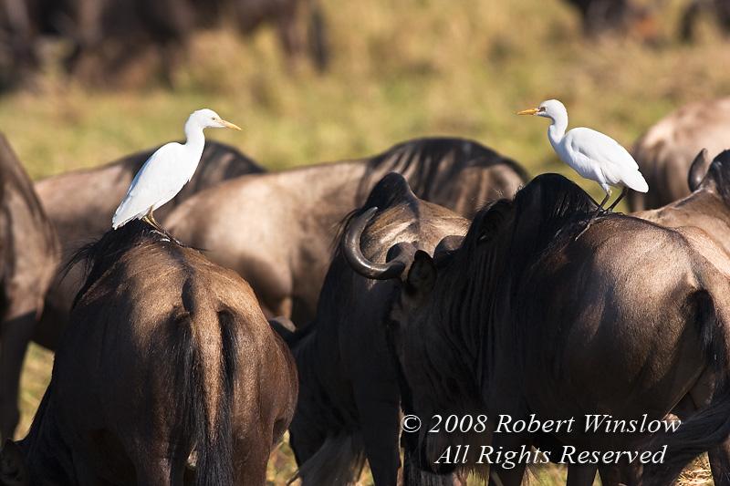 Two Cattle Egrets, Bubulcus i. ibis, on the backs of Wildebeests, Connochaetes taurinus, Masai Mara National Reserve, Kenya, Africa