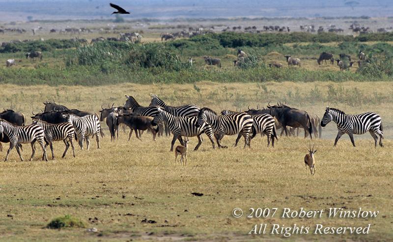 Plains Zebras, Wildebeest and Thomson's Gazelles, Amboseli National Park, Kenya, Africa