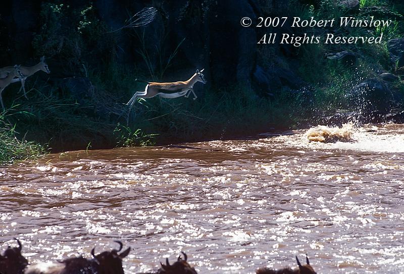 Thomson's Gazelle, Gazella thomsonii, Jumping into Mara River during migration, Masai Mara National Reserve, Kenya, Africa